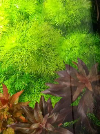 Rośliny do akwarium 20 cm Limnofilia (odbiór Radom lub Mniszek)