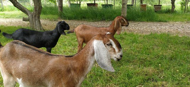 Англо нубийские козы 100%Англия