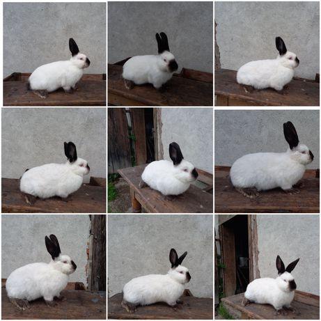 Каліф . Каліфорнія . Кролі . Кролики. Панон .