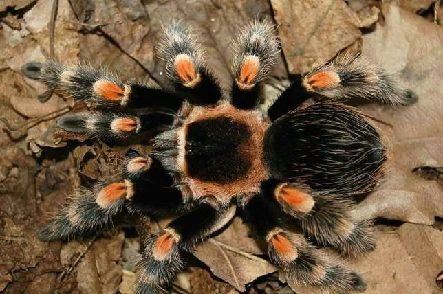Паук Brachypelma smithi самка L 6-7