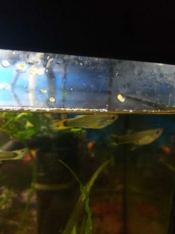 Sprzedam rybki Gupiki