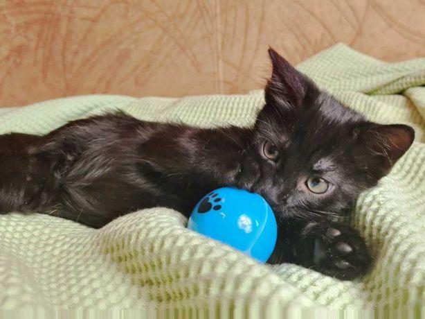 Черничка 3 месяца, очень ласковая черная кошечка ищет любящую семью