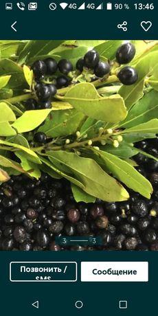 Семена Лаврового дерева по 1 грн
