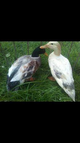 Kaczki kaczor+kaczka streicherente