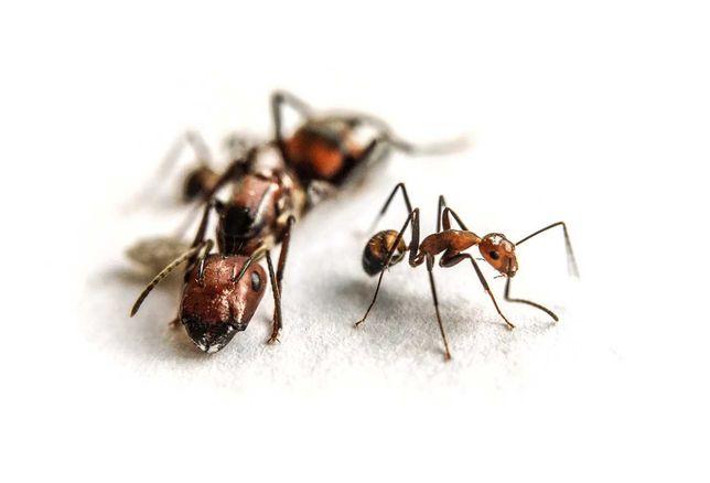 Camponotus nicobarensis (Реактивный рыжий муравей / Messor Structor)