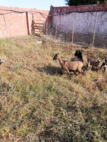 Vendo cabras anas