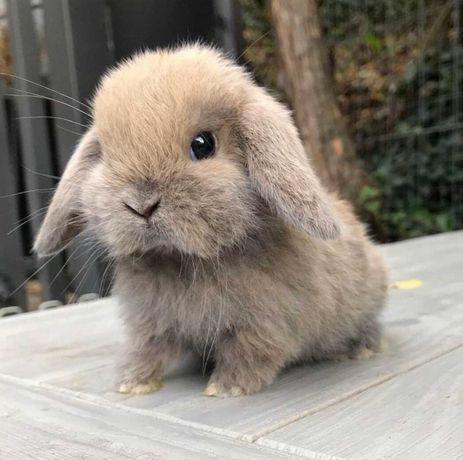 KIT Coelhos anões mini Lop(orelhudos) lindíssimos e muito meigos