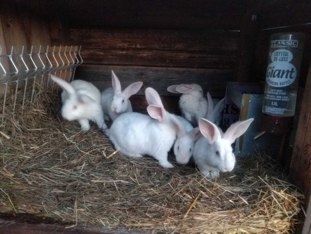 Młode króliki termondzkie