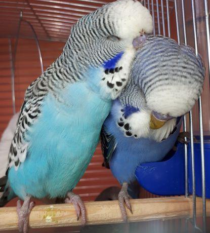 Папуга хвилястий, звичайні та супер ручні чехи