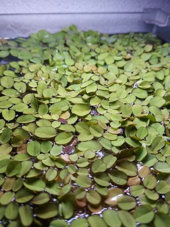 Planta aquática flutuante