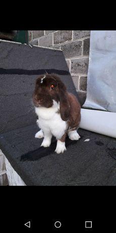 Króliki królik baranek baran francuski