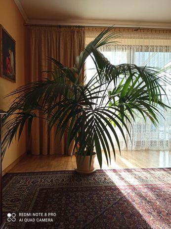 Palma  gigant wys. ok. 200cm średnica ok. 240 cm