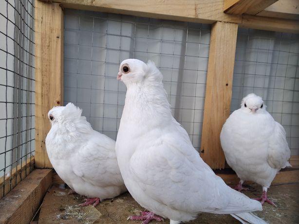Голуби породи орловські та білі узбеки!!!