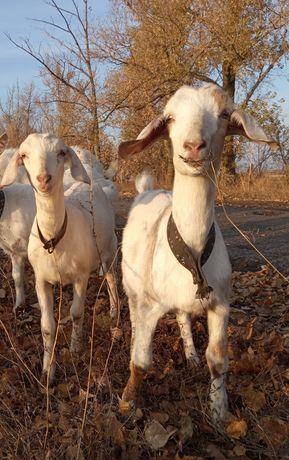 Козы козочки заанонубийские