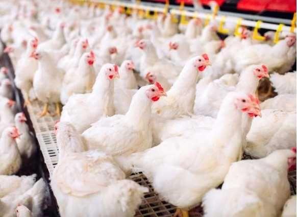 якісне яйце для інкубації з Європи, кури КОББ-500