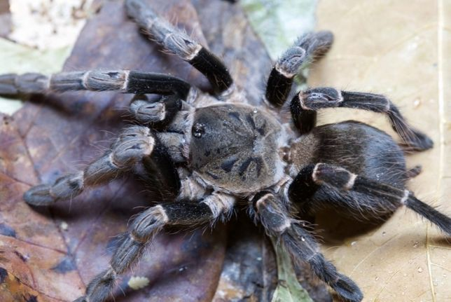 Vitalius paranaensis  паук птицеед интернет магазин отправка