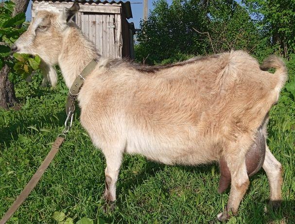 "Коза с козочками "" Ламанчо"""