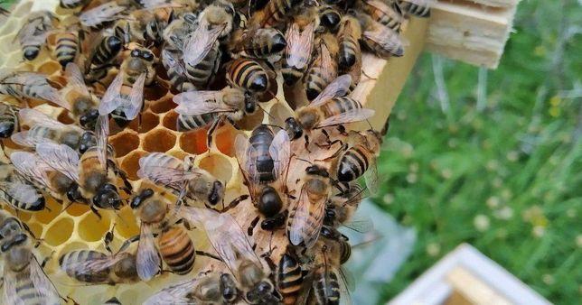 Плодные Матки пчелиные Бакфаст от неметкого матко вода Ольги Рутт