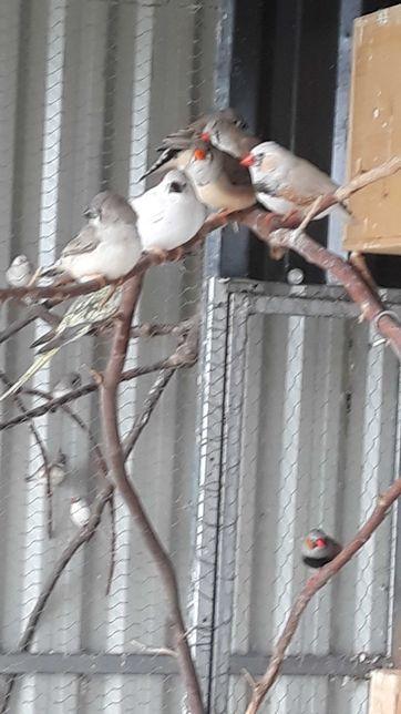 Papugi Nimfy faliste zeberki