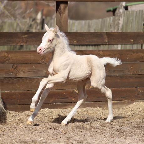 Изабеловый уельский пони , жеребец , лошадь , конь