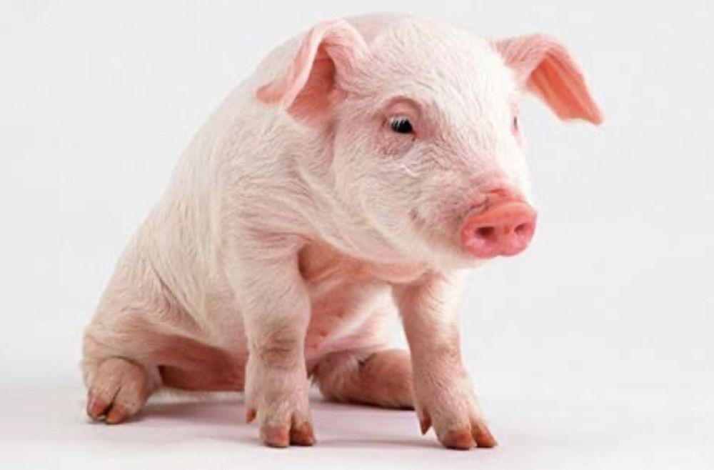Продаю поросят поросята свиньи 2мес ландрас пьетрен Кривое Озеро - изображение 1