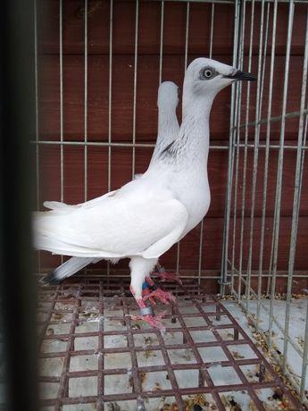 Gołębie ozdobne srebniak perłowy pdl
