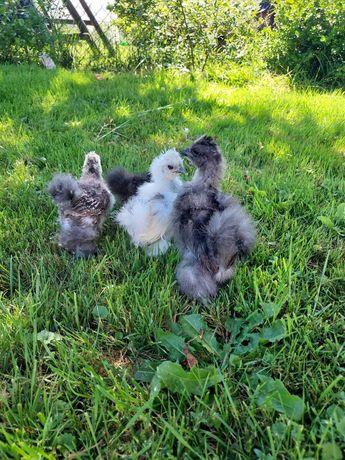 Młode Kury ayam cemani białczub silki czubatki sebrytki jaja lęgowe