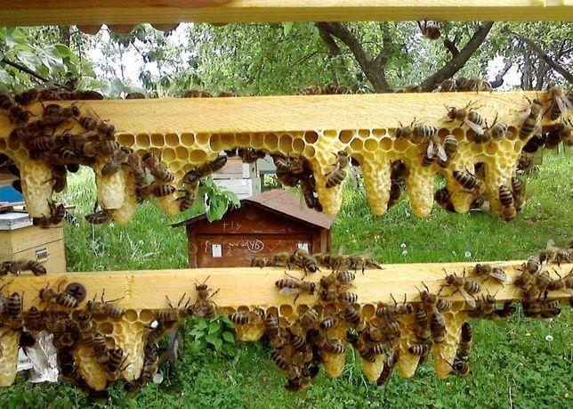 F. 1 Плодные Пчелинные Матки Бакфаст Германия Реализую 2021 года