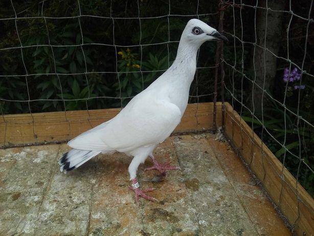 Srebrniak - gołębie ozdobne