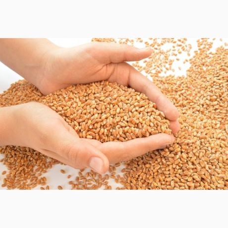 Семена Канадской пшеницы двуручка,насіння пшениці трансгенний сорт