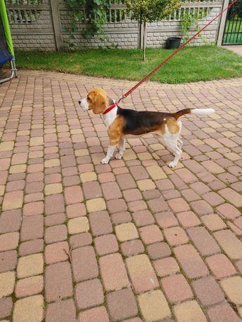 Beagle kawaler sprawdzony
