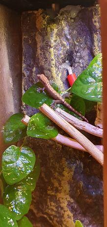 Gekon płaczący Lepidodactylus lugubris gratisy     10szt-250zł