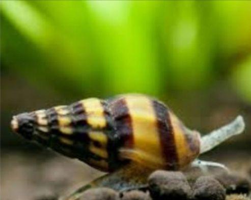 Ślimak Helenka  (pogromca plag ślimaków)