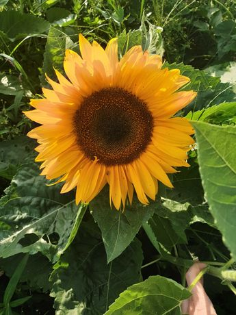 Słonecznik ozdobny cięty
