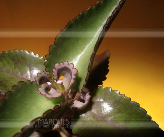 Aranto Verdadeiro Kalanchoe Daigremontiana Bryophyllum daigremontianum