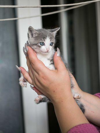 Игривая пепельно-полосатая с белым кошечка, 2 мес, кошка котенок