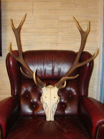Poroże jelenia z czaszką wieniec rogi trofea