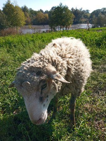 Баран и овца годичные
