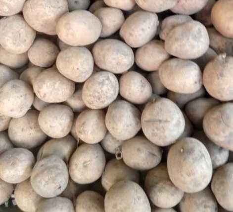 Ziemniaki Irga Sadzeniaki