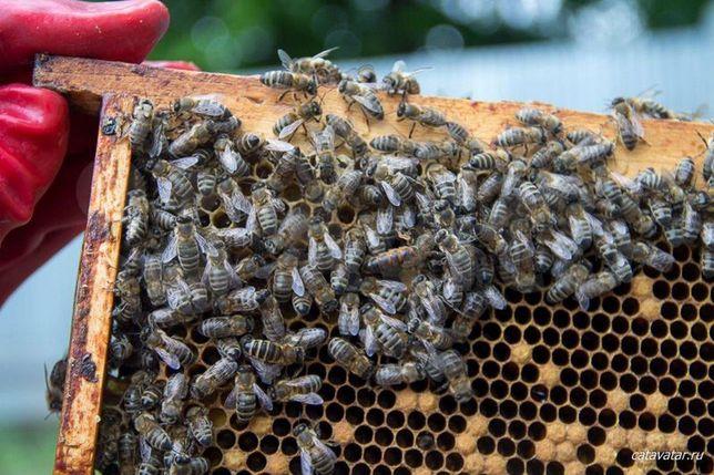 Колочавского типа Карпатка. С 26 мая. Пчеломатки. Продуктивные.