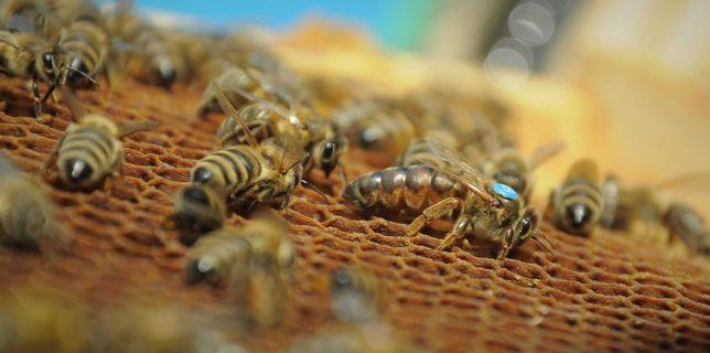 Matki Pszczele, Odkłady Pszczele, Pszczoły