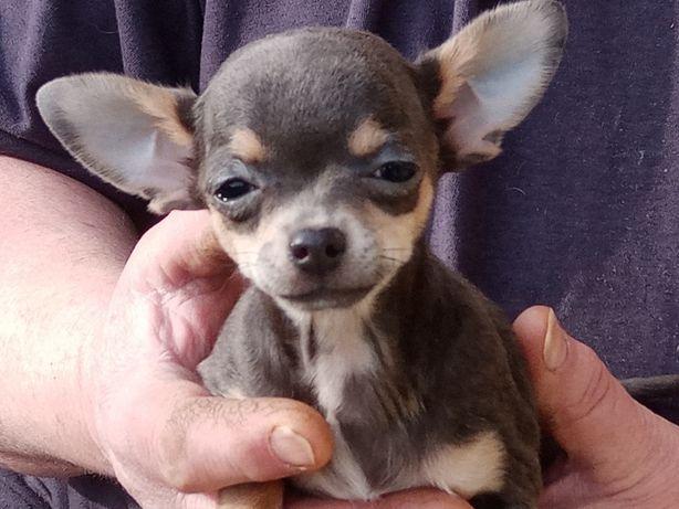 Chihuahua -mini suka+ paszport