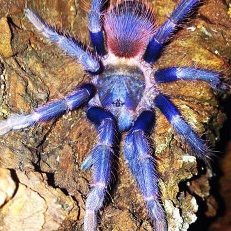 малыши паук птицеед тарантул павук птеринопельма новичку pterinopelma