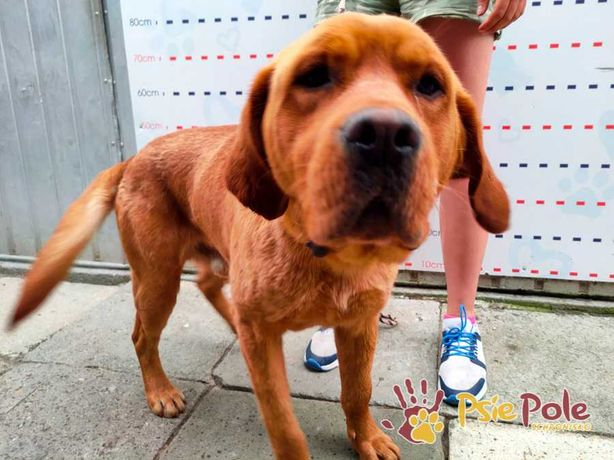 AJAX-piękny rudy psiak szuka troskliwego domu, adopcja