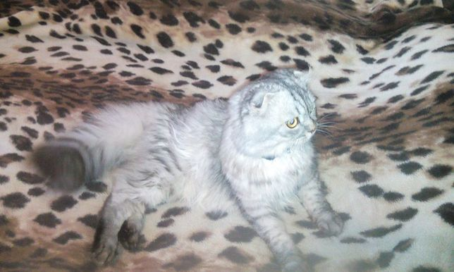 Вислоухий кот вязка