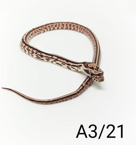 Hybrydy - Tessera - wąż zbożowy - Pantherophis guttatus/obsoletus