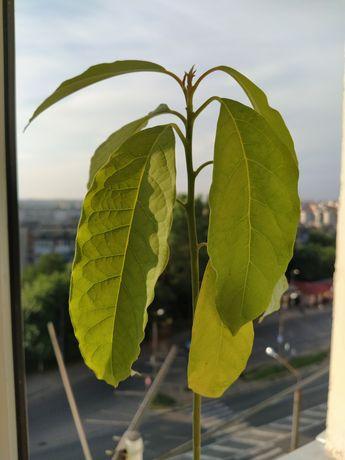 Авокадо цветок деревце вазон растение паросток