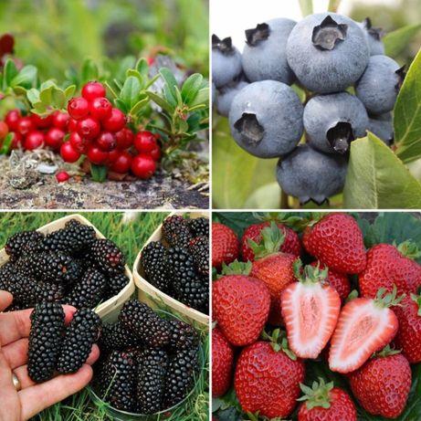 Саженцы плодовых (малина, клубника, голубика, смородина)