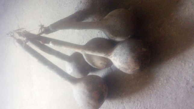 tykwa sucha z pestkami twarda 50 60cm