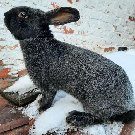 Кровь из Белоруссии кролики Полтавского серебра, самцы, самки, подбор